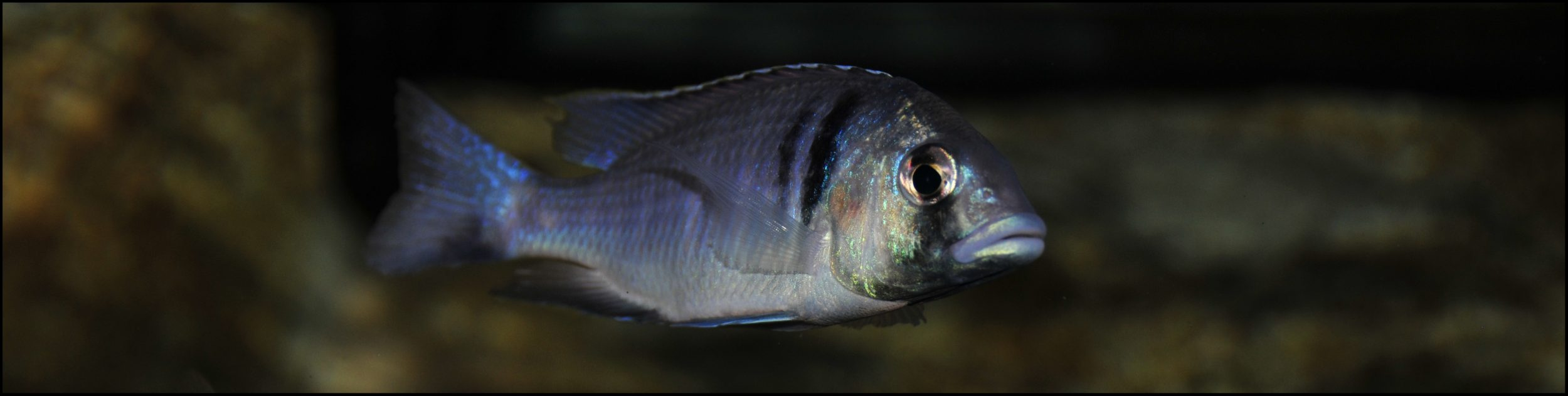 Cichlid Species