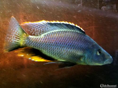 Dimidiochromis Compressiceps male