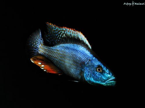 Dimidiochromis Compressiceps male color