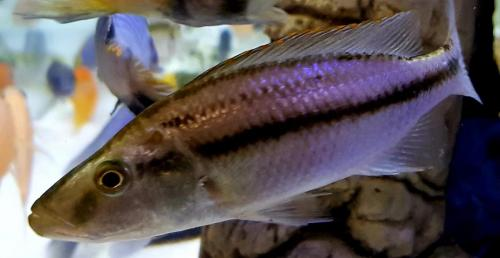 Dimidiochromis Compressiceps male no color