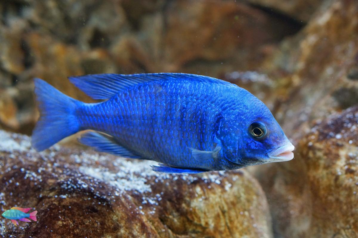 Placidochromis Phenochilus Mdoka White Lips (2)